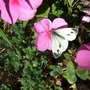 Small_white_butterfly_on_busy_lizzie