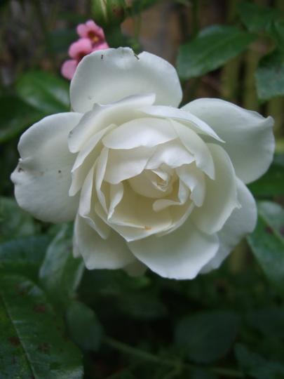 Iceberg Rose. (Rosa floribunda 'Iceberg')