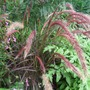 Pennisetum &#x27;Rubra&#x27; in flower. (Pennisetum rubrum &#x27;Dwarf&#x27;)