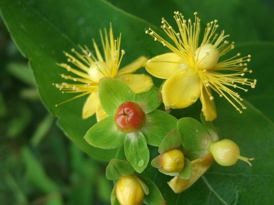 Wild Hypericum still flowering.