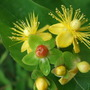 Wild_hypericum_still_flowering