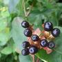 Wild_hypericum_berries