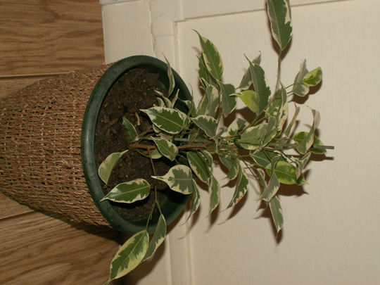 Ficus Panaché Starlight