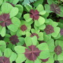 Oxalis 'Iron Cross' leaves (Oxalis 'Iron Cross')
