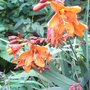 Crocosmia_unknown_variety