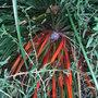 Fasicularia bicolor (Fasicularia bicolor)