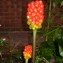 Red_bobbly_plant
