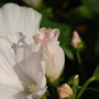 "Lavatera Blooms - Lavatera ""Mont Blanc"" (Lavatera trimestris (Mallow))"