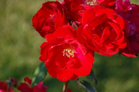 Explorer Rose