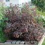 Diablo Ninebark (Physocarpus opulifolius)