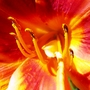 Closer_close_fiery_daylily