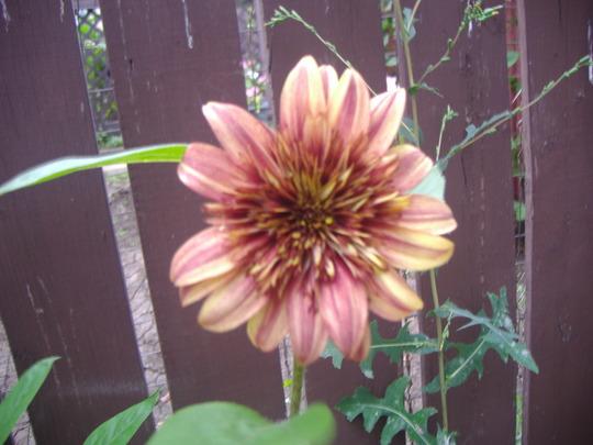 A garden flower photo (Helianthus annuus (Sunflower))