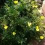 Eschscholzia (Thai silk lemon bush) (Eschscholzia californica (California poppy))