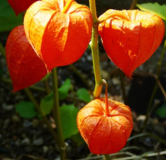 Physalis lanterns (Physalis peruviana (Andenbeere))