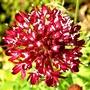 Scabious (Raspberry red) (Centaurea scabiosa (Centauree Scabieuse))
