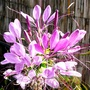 Cleome on terrace (Cleome hassleriana (Spider flower))
