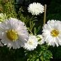 White Aster (Callestephus chinesis)