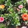 dwarf hibiscus