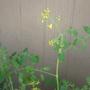 flowering grape tomatoes