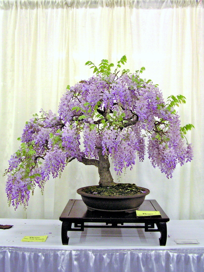 Bonsai- Wisteria