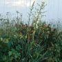 YUCCA PLANT FLOWER STALKS