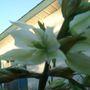 YUCCA PLANT FLOWERS CLOSEUP