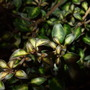 Coprosma_beatson_s_gold_leaves
