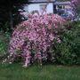 Wiegela_in_full_bloom