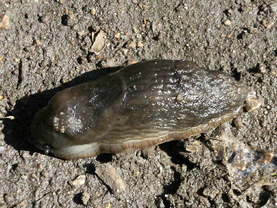 Yukky Slug