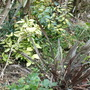 First Year Photo 1 (November 2007) (Phormium tenax 'Platts Black', Elaeagnus x ebbingii 'Limelight', Aucuba japonica 'Golddust')
