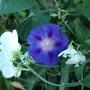 Dsc_0913_morn_glory_n_sw_pea