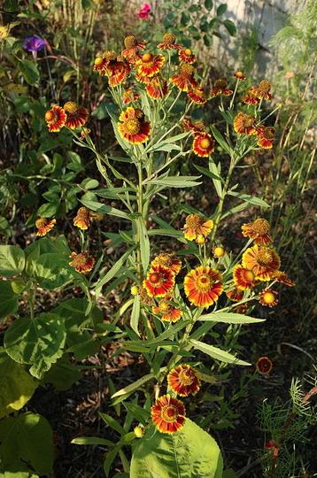 Helenium autumnale 'Rotgold' (Helenium autumnale (American Sneezeweed))