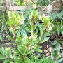 Arbutus unedo, the Strawberry tree. (Arbutus unedo 'The Strawberry Tree')