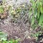 Corokia cotoneaster, 'Wire Netting Bush' (Corokia cotoneaster)