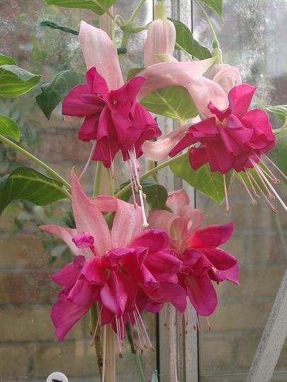 Bella Rosella Fuchsia