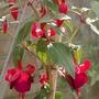 Fuchsia Brutus