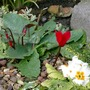 Spring flowers in Autumn! (cyclamen    polyanthus)