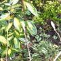 Promise of Next Spring's Flowers (Magnolia soulangeana)