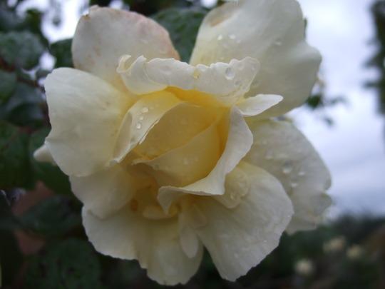 Cream Rose (Rosa)