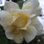 Cream_rose_second_flowering