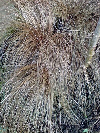 Bronze Grass (Carex 'Comans Bronze')