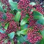 Skimmia japonica 'Rubella' (Skimmia japonica)