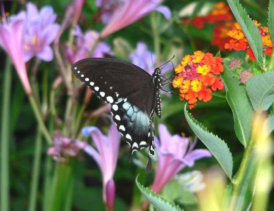 Spicebush Swallowtail Butterlfy