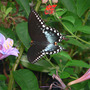 Spicebush Swallowtail Butterfly, Topwing