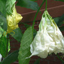 "Angel Trumpet ""Shredded White"" (Brugmansia ""Shredded White"")"