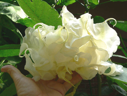 "Angel Trumpet ""Shredded White"" Inside (Brugmansia ""Shredded White"")"