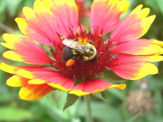 """Bumblebee  (Gaillardia aristata (Blanketflower) """"Goblin"""")"""