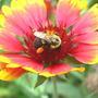 Bee_bumble_gailardia_8_25_08_exc_sm
