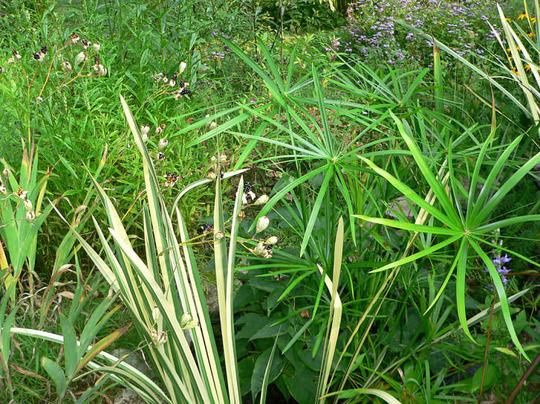 Frog Pool Area (Cyperus alternifolius)