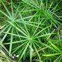 Umbrella Palm (Cyperus alternifolius)